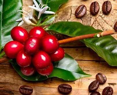 درخت قهوه عربی (عربیکا )
