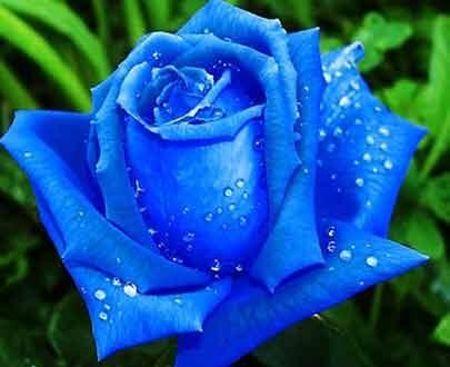 گل رز آبی